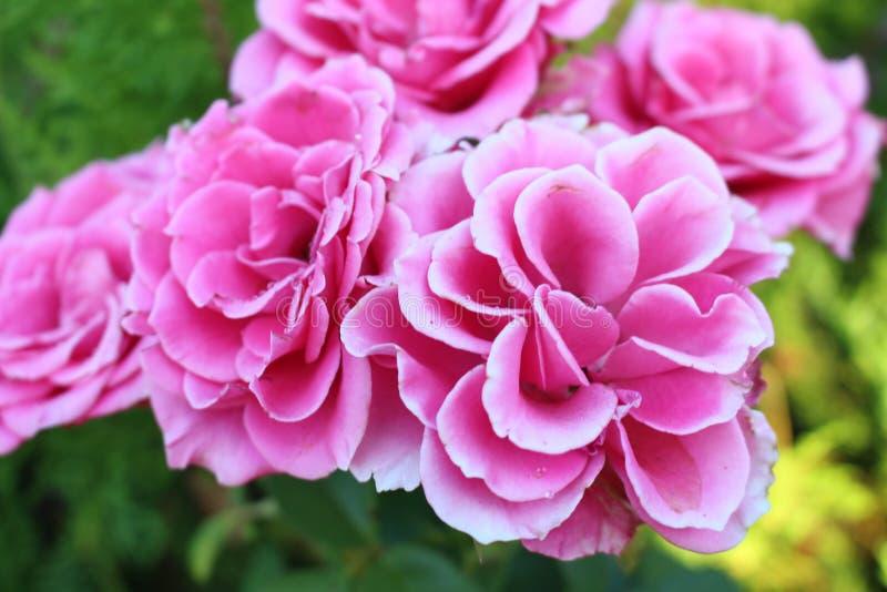 Bulgarische Rosen 2 im Sommer in der Stadt von Burgas - das aufwändige morgens schöne des Gartens etwas stockfoto