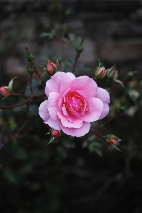 Bulgarisk ros i trädgården, Bulgarien royaltyfria bilder