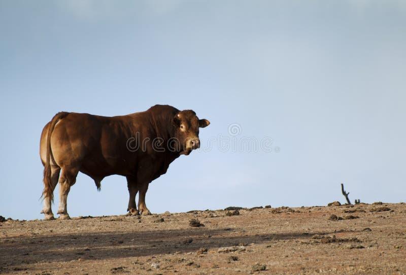 Bull в ферме стоковая фотография rf