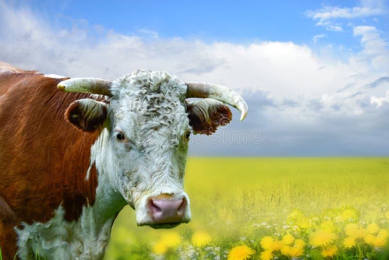 Bull, корова, бизон, портрет буйвола главный с желтым лугом и голубое небо с облаками стоковые фото