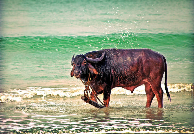 Download Bull stock image. Image of splash, male, tall, flood - 13517845