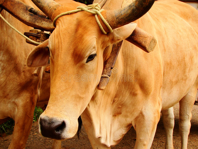 Download Bull stock image. Image of field, farming, brown, close - 16936695