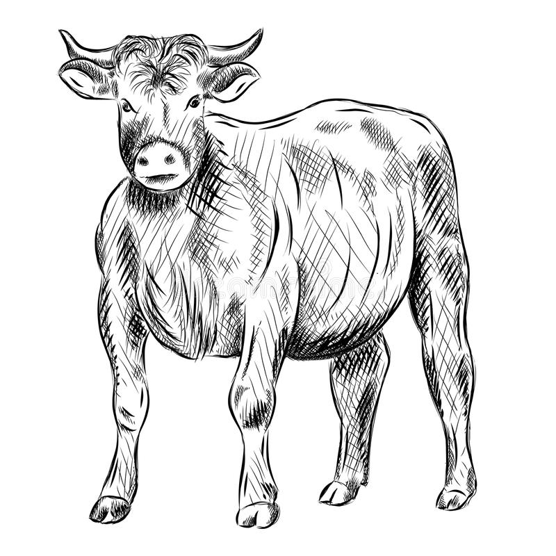 Download Bull Stock Photo - Image: 19527600