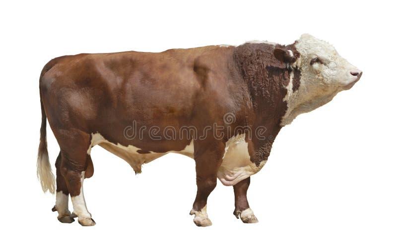 Bull-2 stockfoto