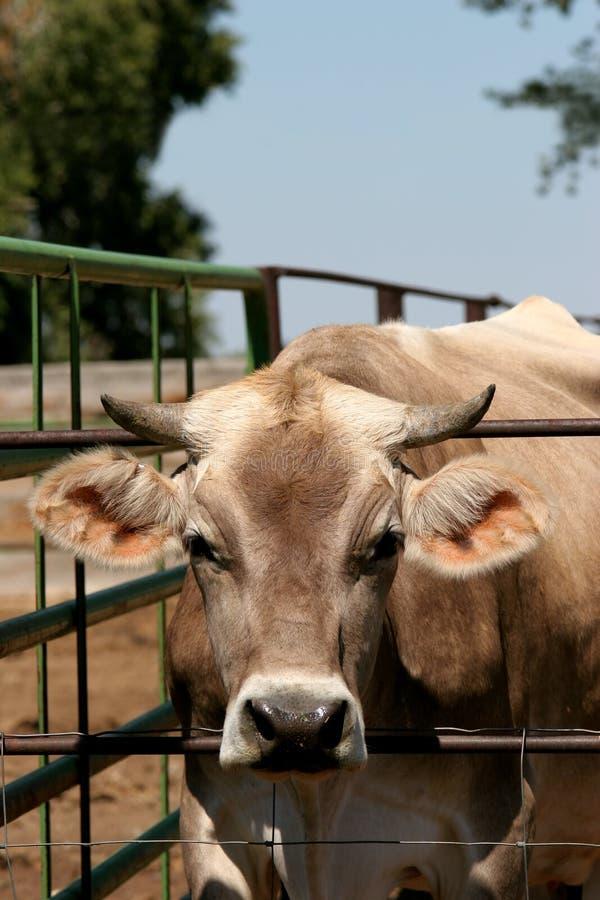Bull immagini stock