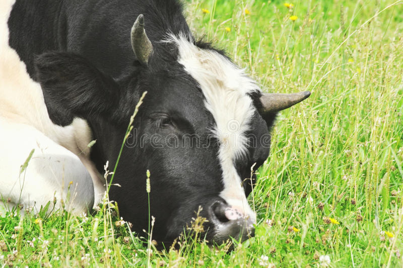 Download Bull stock image. Image of pasture, mammal, rest, horns - 26803809