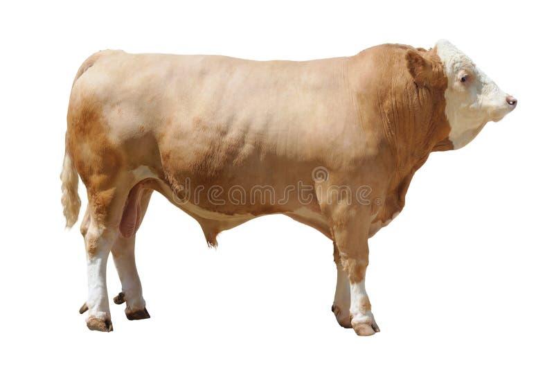 Bull-3 stockfotos