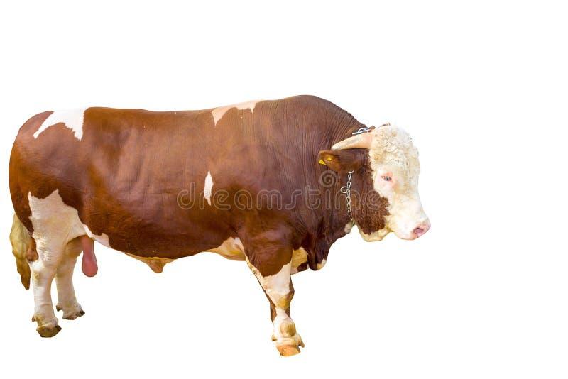 Bull foto de archivo