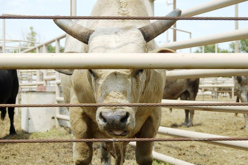 bull fotografia royalty free