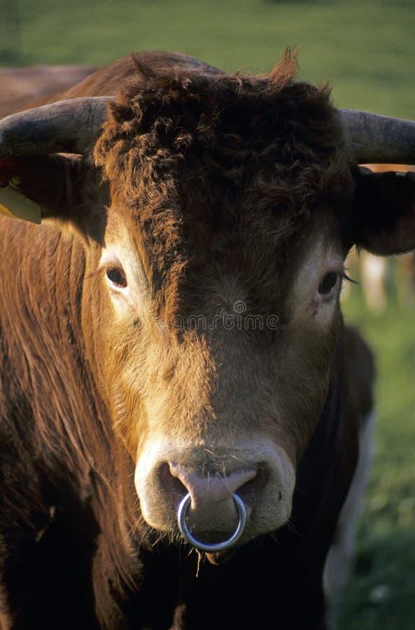 Free Bull Royalty Free Stock Image - 5898216