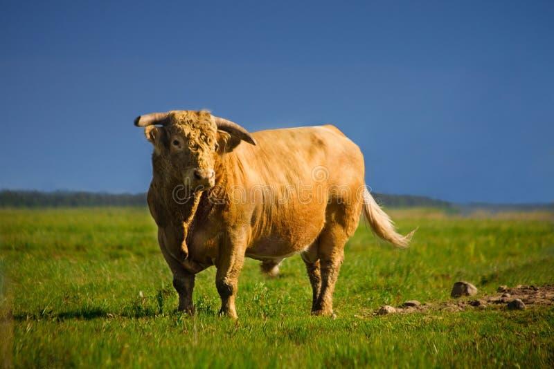 Bull imagens de stock
