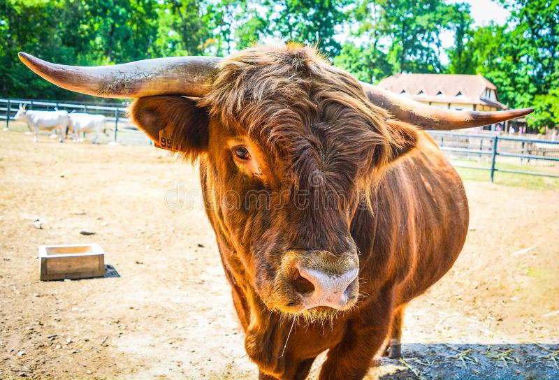 The poser bull. The bull is the adult male of the species called cattle. The female is the cow stock photos