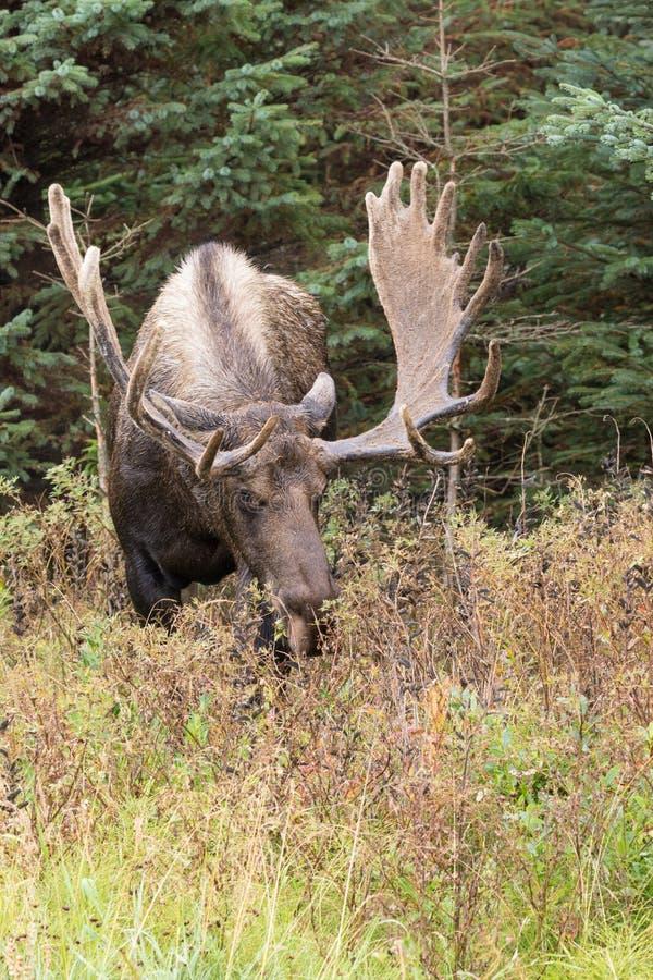 Bull Alaska Moose in velvet. An alaska yukon bull moose in velvet stock photo