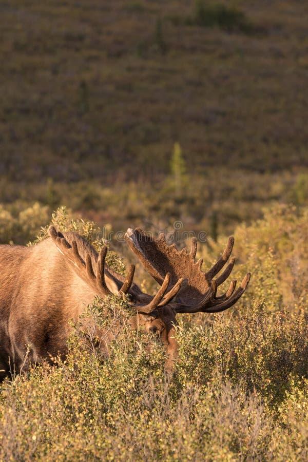 Bull Alaska Moose in velvet. An alaska yukon bull moose in velvet stock image