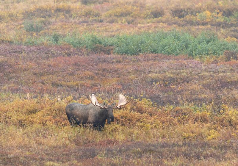 Bull Alaska Yukon Moose in Fall. An Alaska Yukon bull moose in Denali National Park in autumn stock image