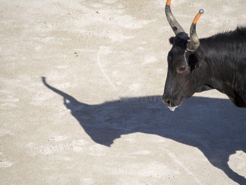 Bull in the arena stock image