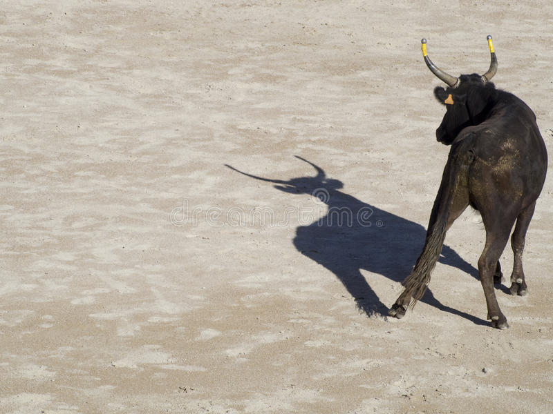 Bull in the arena stock photography