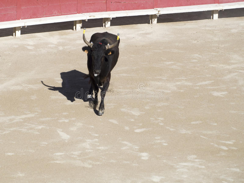 Bull in the arena stock photos