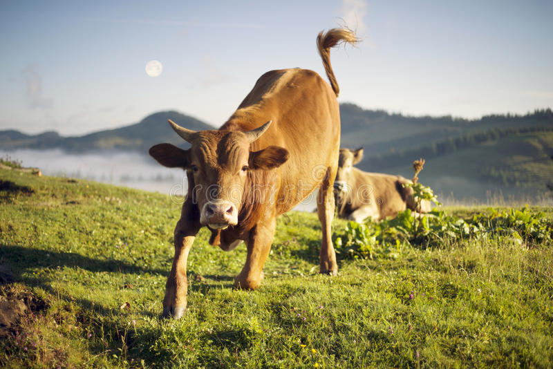 Bull attacks at dawn. Bull attacks. After the rain, the green pastures in the Alpine zone in the Carpathians are covered with a sea of fog and the herds of wild royalty free stock photo