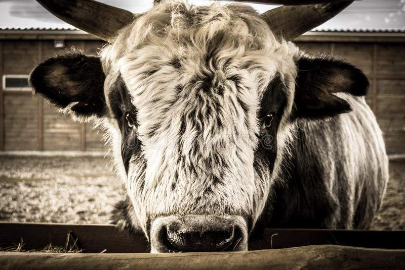Bull auf dem Bauernhof lizenzfreies stockfoto