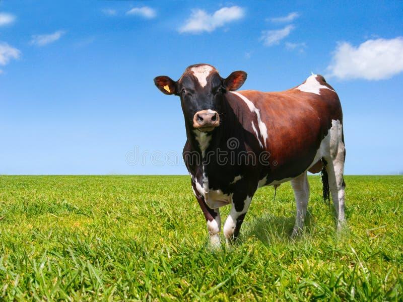 Bull auf grünem Feld stockfotos