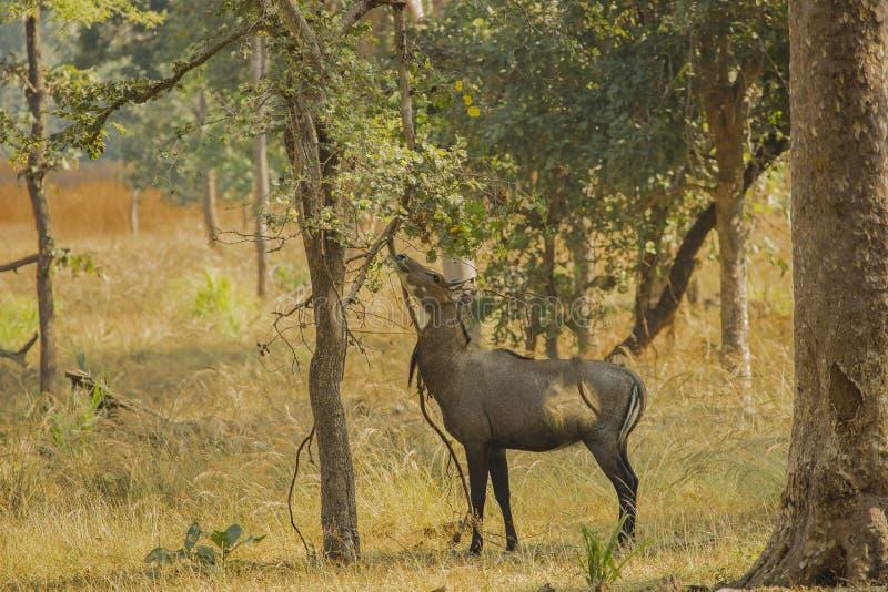 Bull azul/Nilgai masculinos que come sob a árvore fotografia de stock royalty free