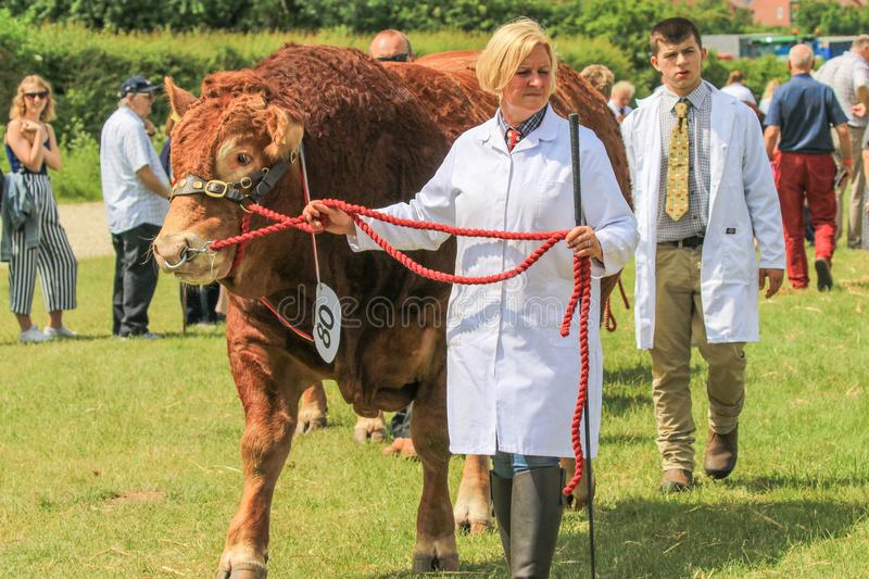 A bull being shown at a county show stock photography