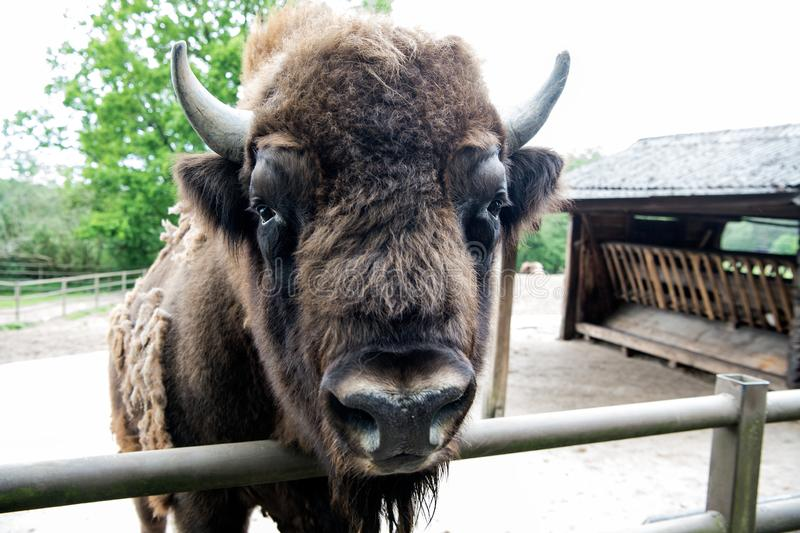 Bull bison closeup. Furry brown animal habits in summer outdoor on field in nature. Buffalo wildlife. Head with horns. Buffalo bull concept. Animal bull in zoo royalty free stock image