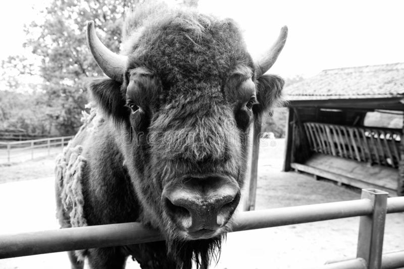 Bull bison closeup. Furry brown animal habits in summer outdoor on field in nature. Buffalo wildlife. Head with horns. Buffalo bull concept. Animal bull in zoo royalty free stock images