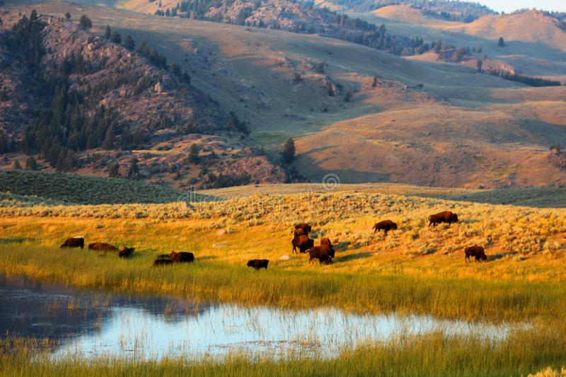 Yellowstone National Park American Bison stock image