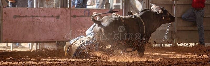 Bull Bucks από τον αναβάτη κάουμποϋ στη σκόνη στο ροντέο χώρας στοκ εικόνες