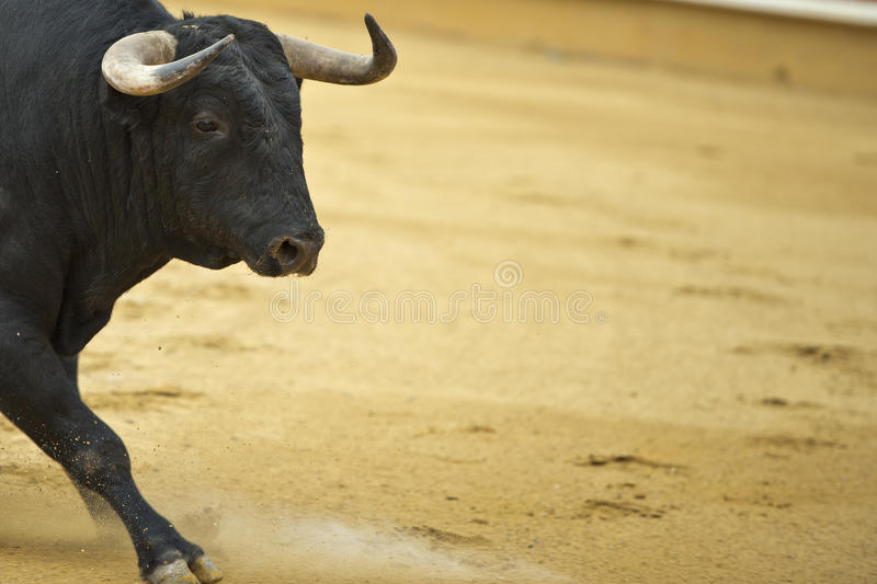Bull in the bullring. Bull in the bullring with a copy space made of arena stock photos
