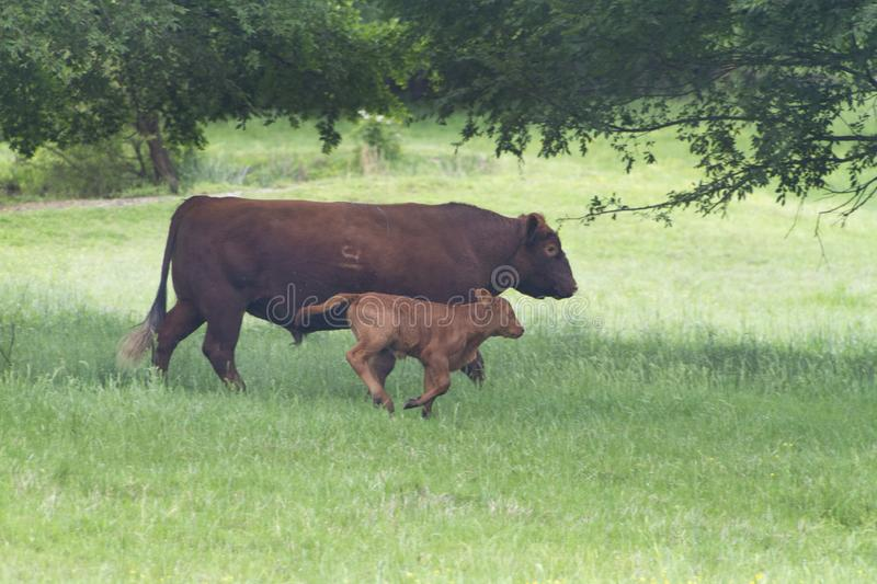 Bull and calf in a green pasture, beef cattle sire and baby. Red Angus beef cattle with a bull and a young running calf. Bull is the calve`s sire. Large royalty free stock photos