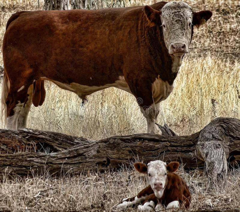 Bull and Calf. A bull and calf in a paddock not long after the birth of the calf. They are in a good paddock with plenty of food and shelter royalty free stock image