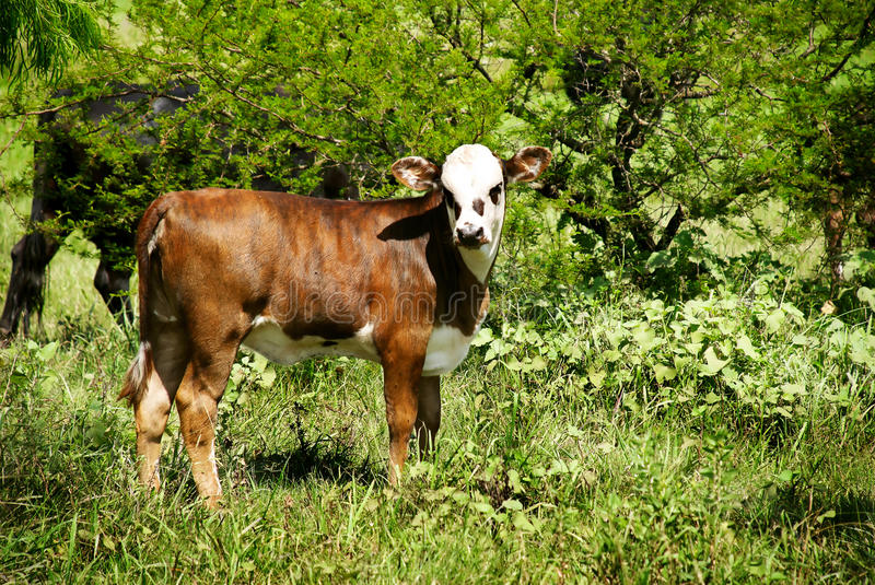 The bull-calfe on the grass. Outdoor royalty free stock photos