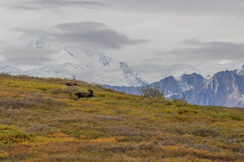 Bull and Cow Alaska Moose. A bull and cow Alaska Yukon moose in Denali National Park royalty free stock image
