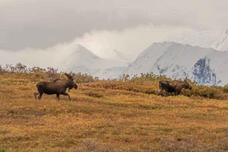 Bull and Cow Alaska Moose. A bull and cow Alaska Yukon moose in Denali National park stock photo