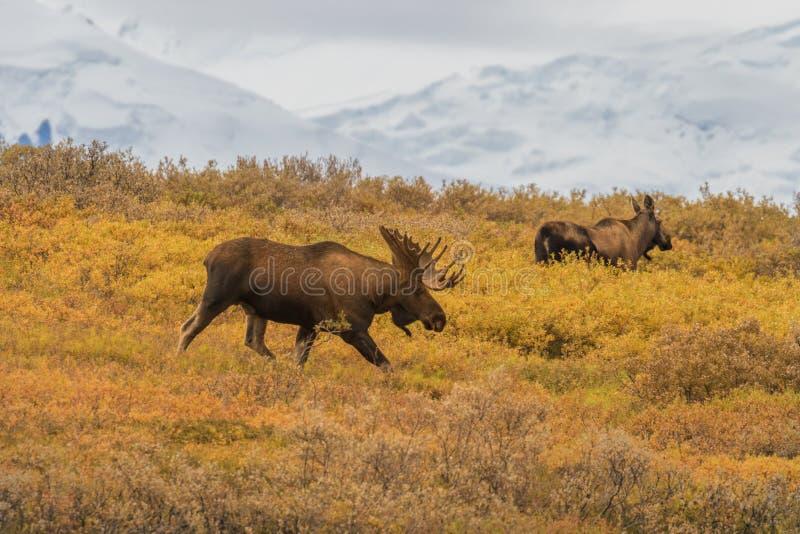 Bull and Cow Alaska Yukon Moose. A bull and cow Alaska Yukon moose in Denali National park royalty free stock image