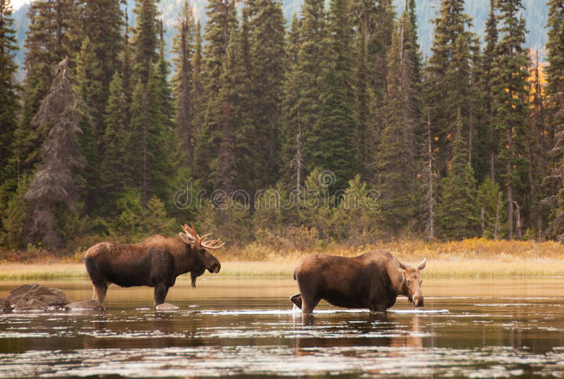Bull and Cow Moose. This bull moose has been following this cow for some time so as to be sure he is the one to mate when the time comes. On Murtle Lake near royalty free stock image