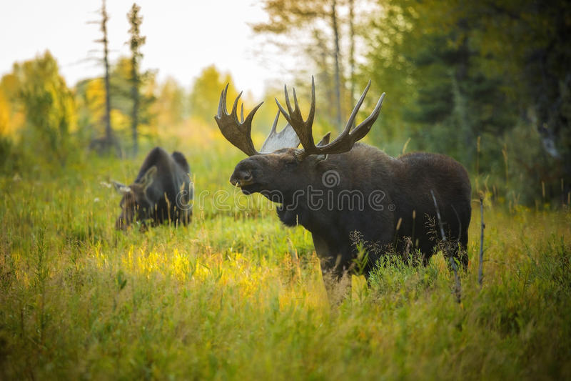 Bull and Cow Moose stock image