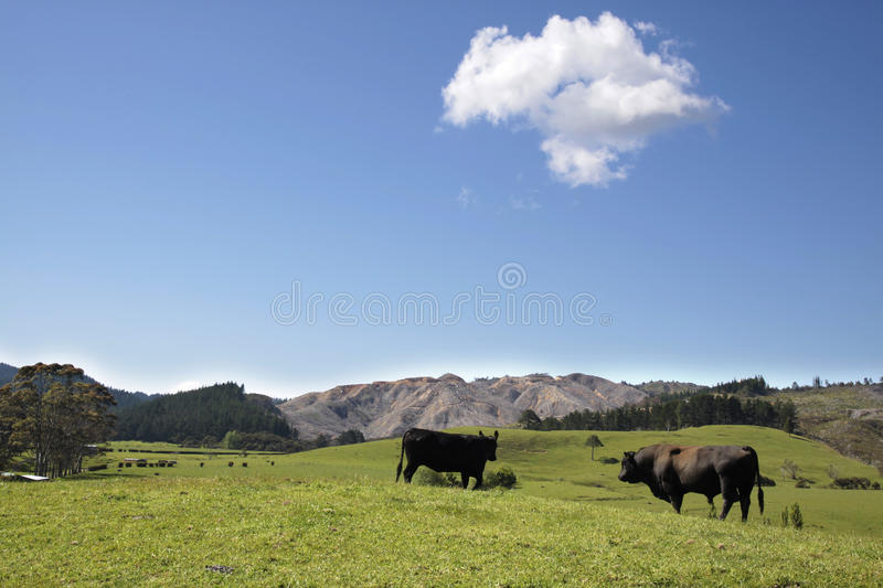 Bull and cow in the pasture. On the Coromandel Peninsula, North Island, New Zealand royalty free stock photography