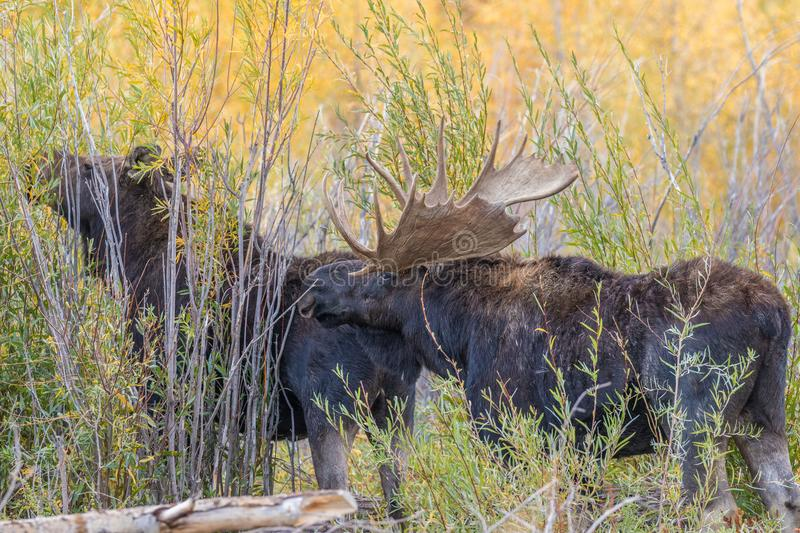 Bull and Cow Moose. A bull and cow shiras moose in the fall rut in Wyoming stock photography
