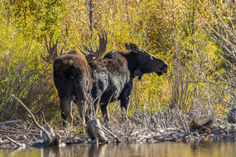 Bull and Cow Moose in the Fall Rut. A bull and cow shiras moose in the fall rut in Wyoming stock image