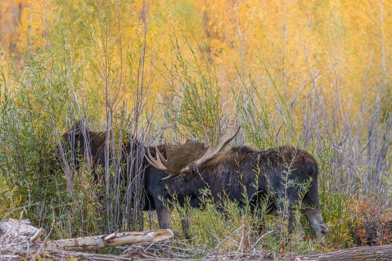Bull and Cow Moose Rutting. A bull and cow shiras moose in the fall rut in Wyoming royalty free stock photo