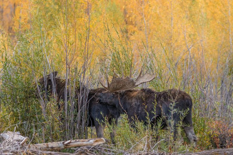 Bull and Cow Shiras Moose in Rut. A bull and cow shiras moose in the fall rut in Wyoming royalty free stock photo