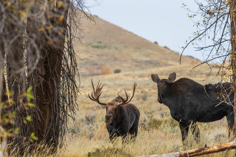 Bull and Cow Shiras Moose Rutting. A bull and cow shiras moose rutting in Wyoming in fall stock photos