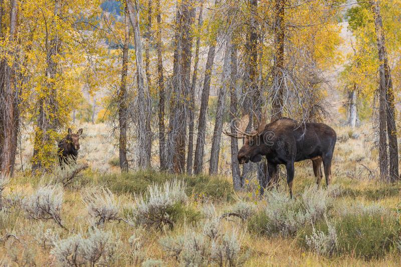 Bull and Cow Moose in the Fall Rut. A bull and cow shiras moose rutting in Wyoming in fall royalty free stock image