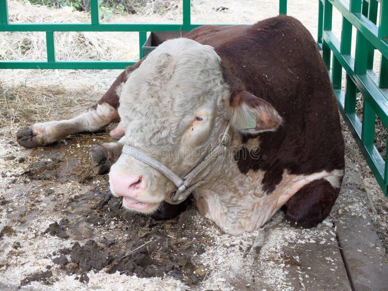 Bull de la raza - Hereford imagenes de archivo