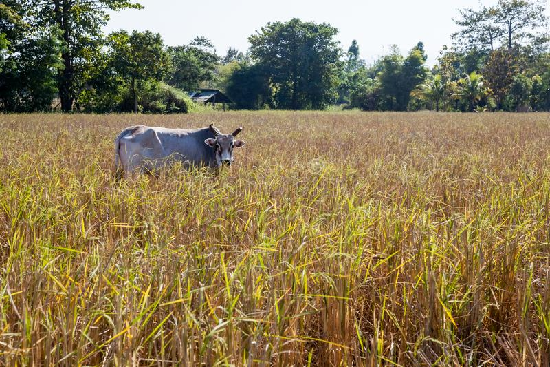 Bull de Tailandia imagen de archivo