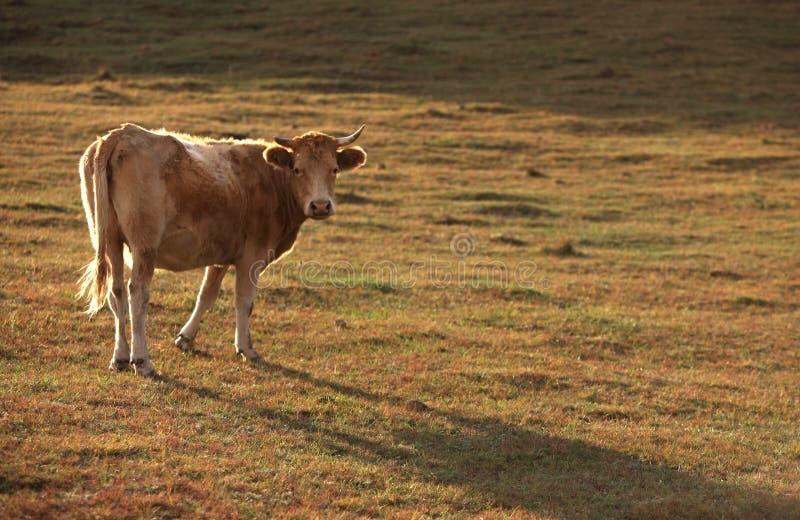 Bull debajo del sol imagen de archivo libre de regalías